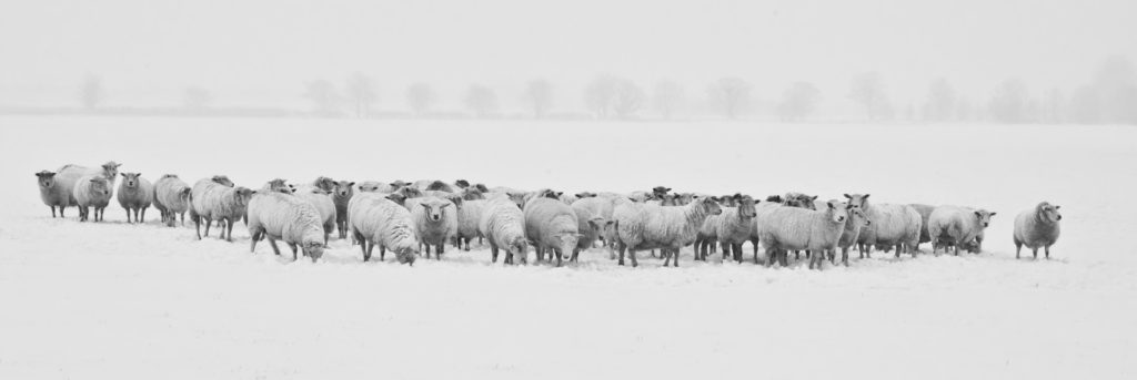 herd of sheep outside snowy grounds